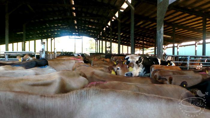 dairy farm cows