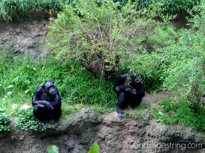 LA Zoo chimpanzees