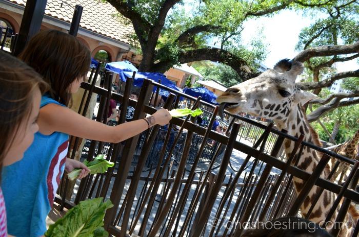 Houston zoo giraffe feeding