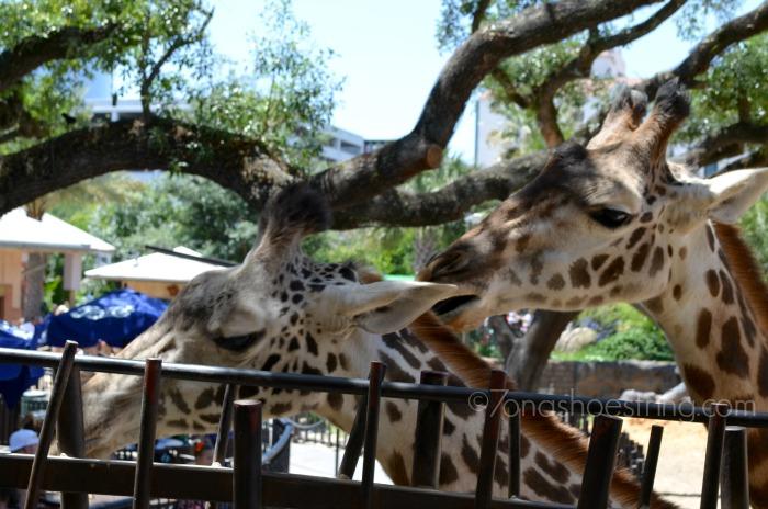 giraffes at Houston Zoo feeding