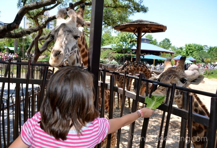 giraffes at Houston zoo