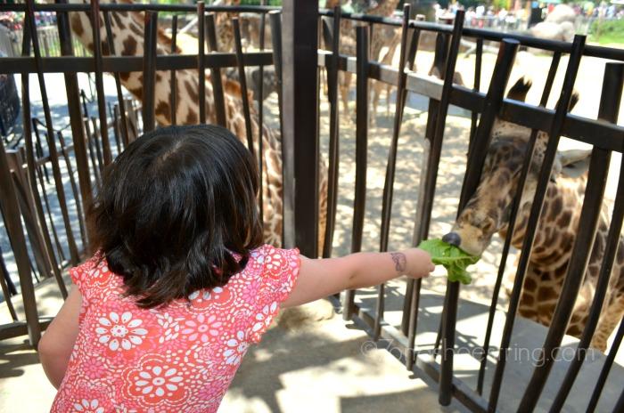 zoo giraffe feeding