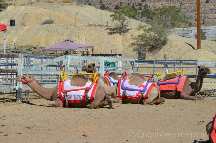 Camel Races Virginia City