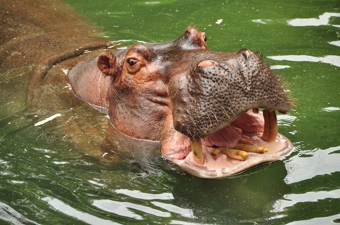 Wild Africa Trek hippos