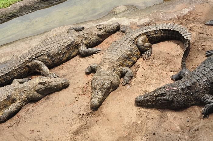 Wild Africa Trek crocodiles sleeping