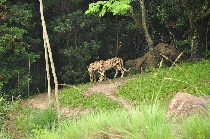 Wild Africa Trek cheetah