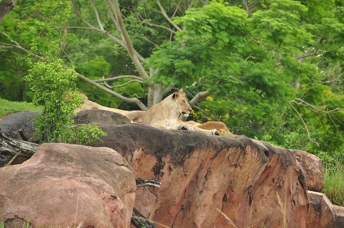 Wild Africa Trek lions