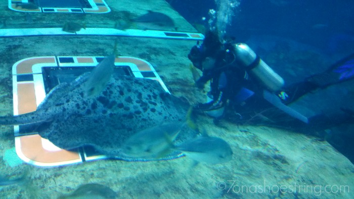 spotted eagle ray at Epcot
