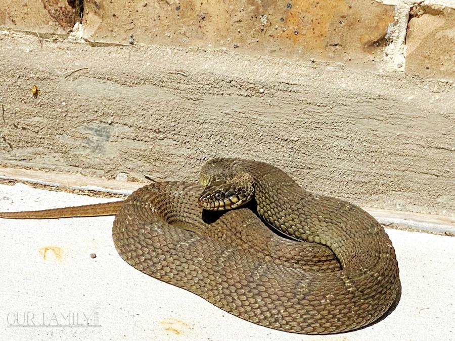 Texas plain-bellied water snake