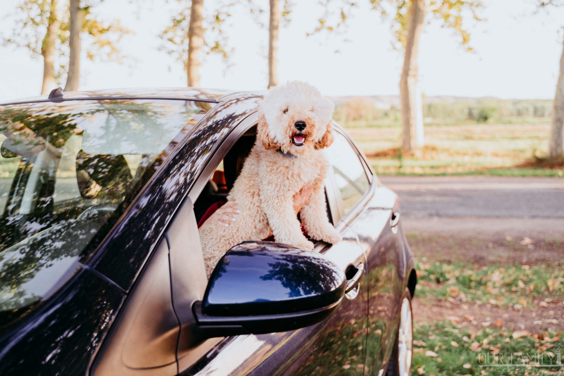 golden doodle in car window for a road trip